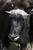 Juvenile Musk Ox — Stock Photo