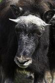 несовершеннолетних мускусного быка — Стоковое фото