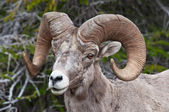 Bighorn sheep — Stockfoto
