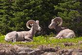 Bedded Bighorn Rams — Stock Photo