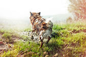 Running wet dog — Stock Photo