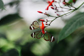Glasswinged butterfly — Stock Photo