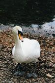 White swan — Stockfoto