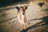 Young deer looking at camera — Stock Photo