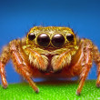 Jumping Spider — Stock Photo #20191953