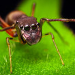 Ant Mimic Spider (Female) — Stock Photo