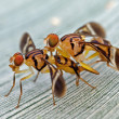 Carribean Fruitfly — Stock Photo