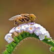 Hover Fly — Stock Photo #20192791