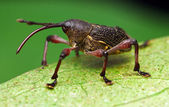 Weevil — Stock Photo