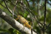 枝にバッタ — ストック写真