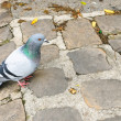A pidgeon in Paris, France - Stock Photo