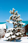 Snow covered pine tree — Stock Photo