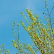 Stock Photo: Tree blooming with blue sky