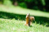 Squirrel eating in the grass — 图库照片