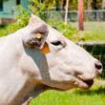 s úsměvem bílá kráva — Stock fotografie