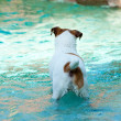 Jack Russell Terrier swimming — Stock Photo #27473949