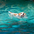Jack Russell terrier swimming — Stock Photo #27473969
