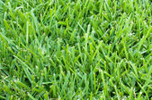 St augustine grass backdrop — Stock Photo