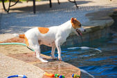 Jack Russell Terrier Poolside — Stock Photo