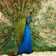 Dancing peacock - Stock Photo