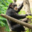 Chimp on tree — Stock Photo #20936751