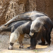 Anteaters mating  — Stock Photo