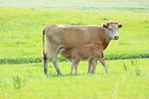 Cow mother and a baby — Stock Photo