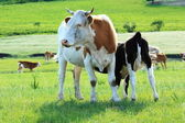 A group of cows in the grassland — Stock Photo
