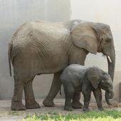 Two elephants — Stock Photo