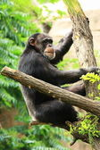 Chimp on tree — Stock Photo