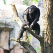 Chimp on tree — Stock Photo #21024707