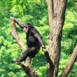 Chimp on tree - Stock Photo