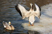 Two geese on snow — Stock Photo