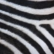 Abstract background of zebra stripe - Stock Photo