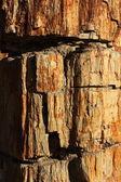 表面的化石木的纹理 — 图库照片