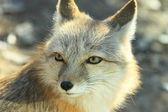 Bílá liška — Stock fotografie