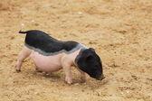 Little pig — Stock Photo