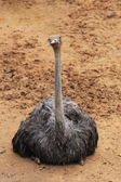 Struisvogel — Stockfoto
