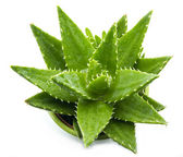 Aloe vera — Stock Photo
