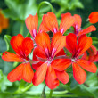 Geranium — Stock Photo #29274361