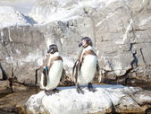 Two little penguins — Stock fotografie