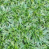 Green Grass close-up — Stock Photo