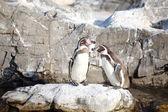 O pequeno pingüim — Foto Stock