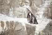 小さなペンギン — ストック写真