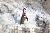 El pequeño pingüino — Foto de Stock