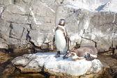 The little penguin — Stock Photo
