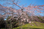 Sakura view in chidorigafuchi park — Stock Photo