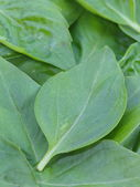 Basil leaves — Stock Photo