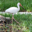 Stock Photo: White bird on grass