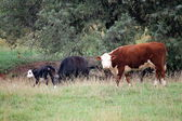 Horses and cows — Stock Photo